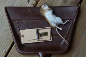 Død mus